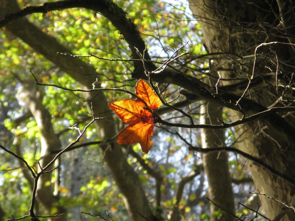Lite höstfärg. Tyvärr får inte träden här lika vackra höstfärger som i norden.