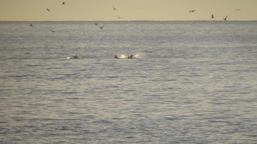 Guincho delfiner 2014 076