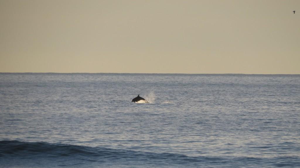 Guincho delfiner 2014 080
