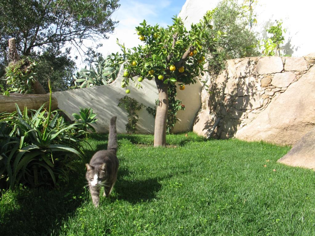 Frasse inspekterar ägorna. Vårt apelsinträd.