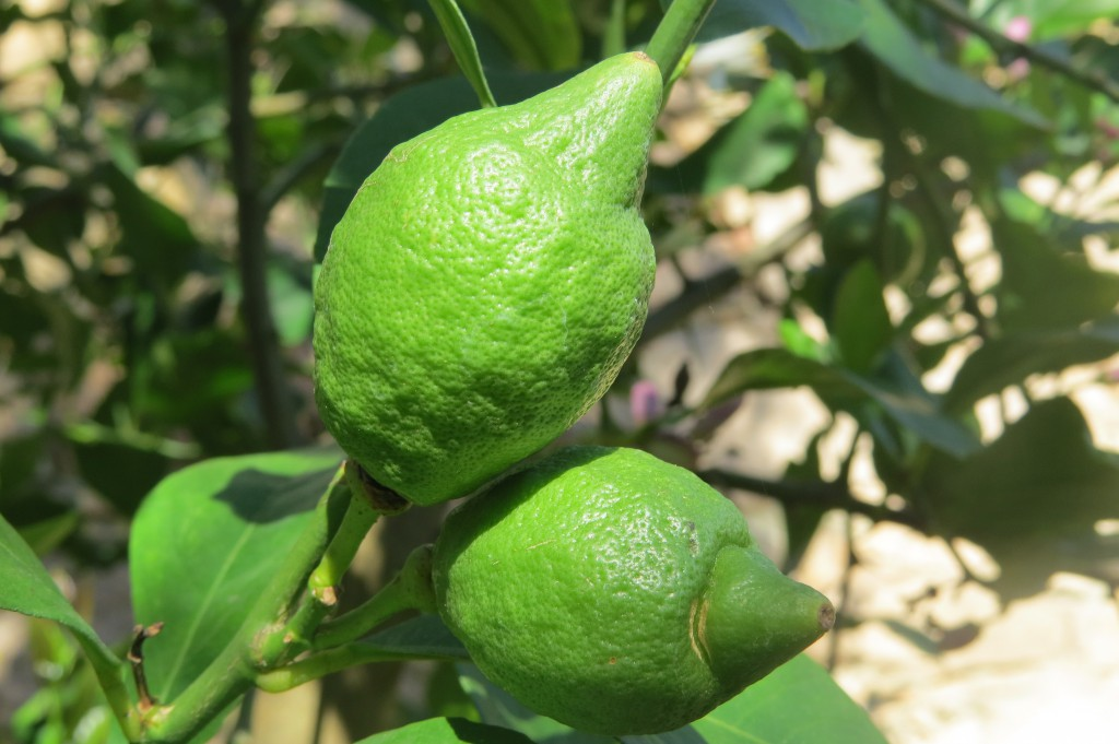 Vi köpte ett citronträd som tar sig bra. De är inte mogna än men det blir en hel del!