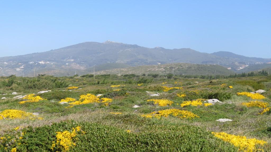 Det blommar påskgult både i bergen och vid havet sedan en tid tillbaka. Ärttörne och mimosa