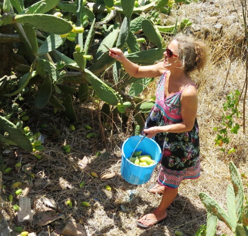 kaktusfikon o solnedgång augusti 2015 007