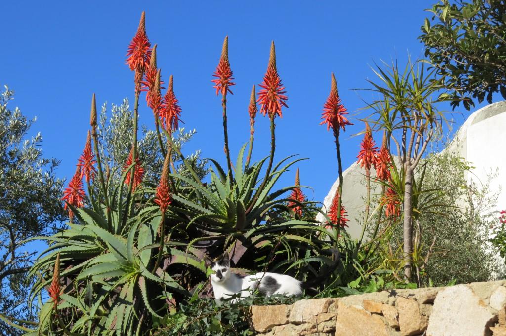 Nu till jul blommar de här vackra..växterna, vad de nu heter, igen. Loppan poserer gärna.