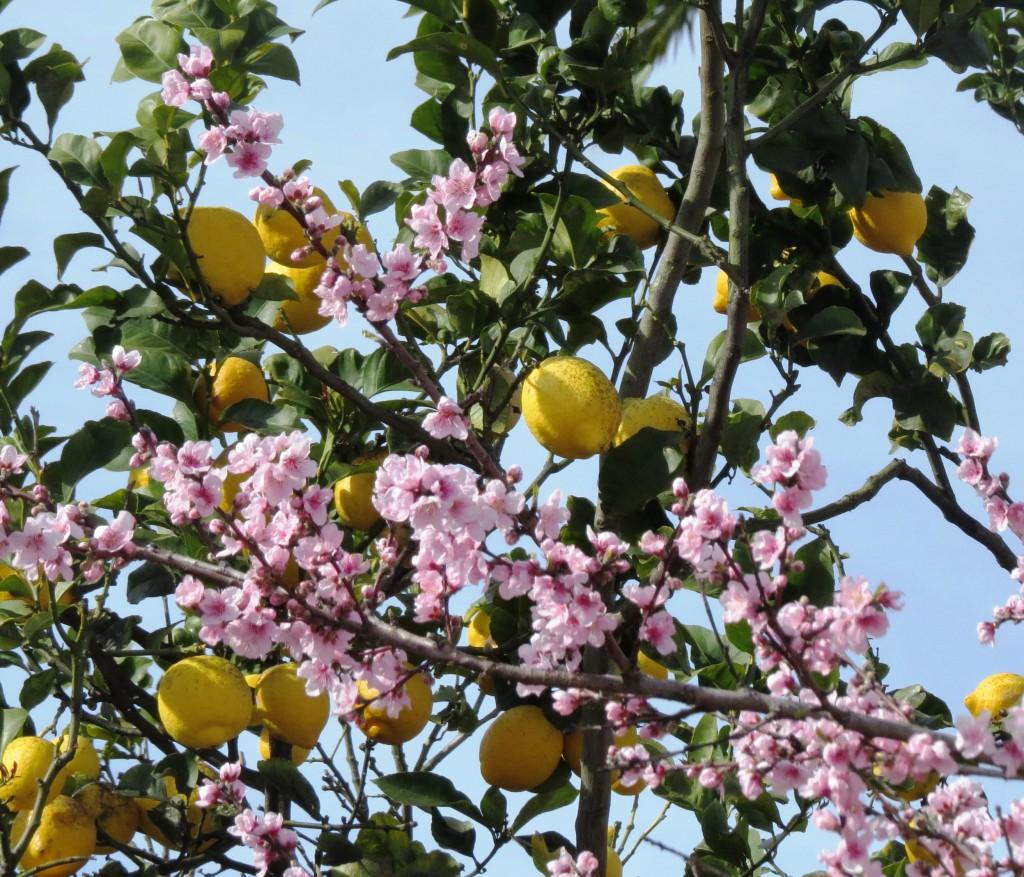 Vackra fruktträd i blom i Cascais igår