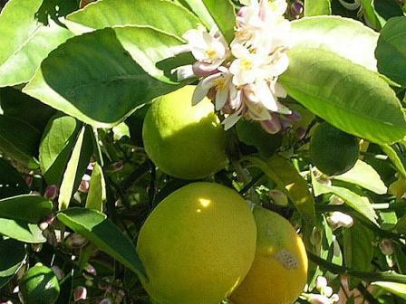 Citroner har vi i trädgården!