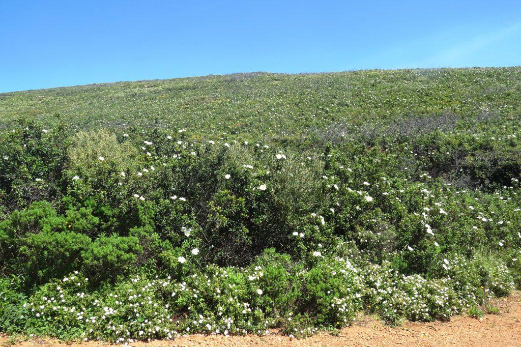 Dessa vita nyponrosaktiga översållar alla kullar som inte är täckta av något annat.